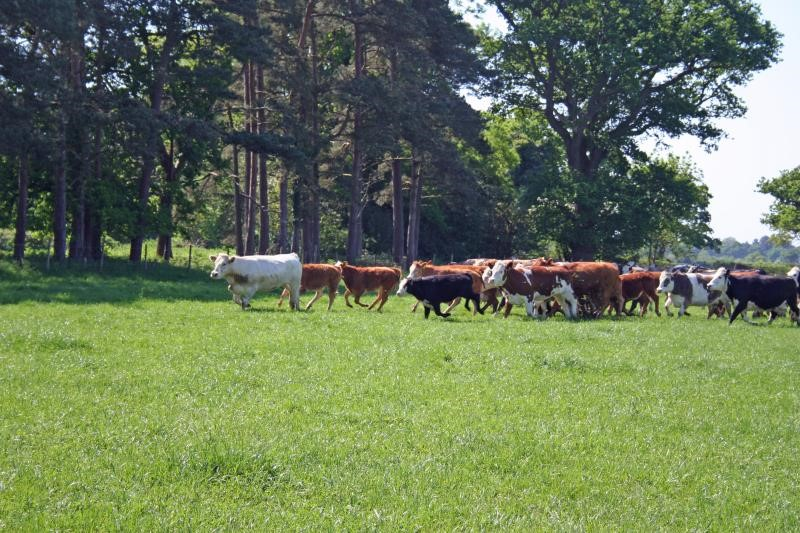 Cattle round up New Forest_14142