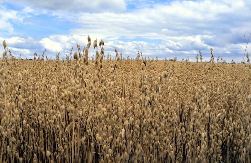 A field of oats_14605