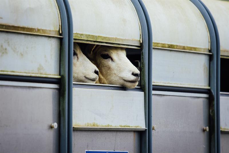 Llanybydder sheep in trailer_68521