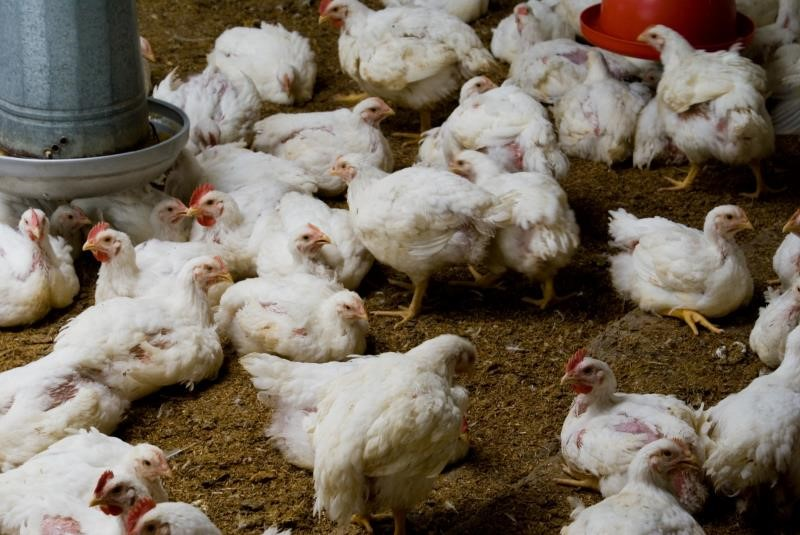 Broiler chickens_3585