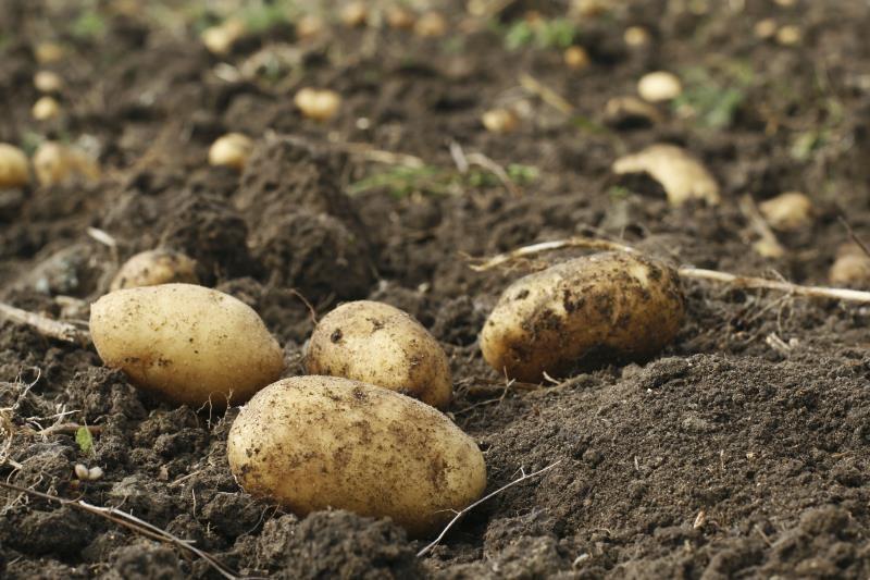Potatoes in soil_7810