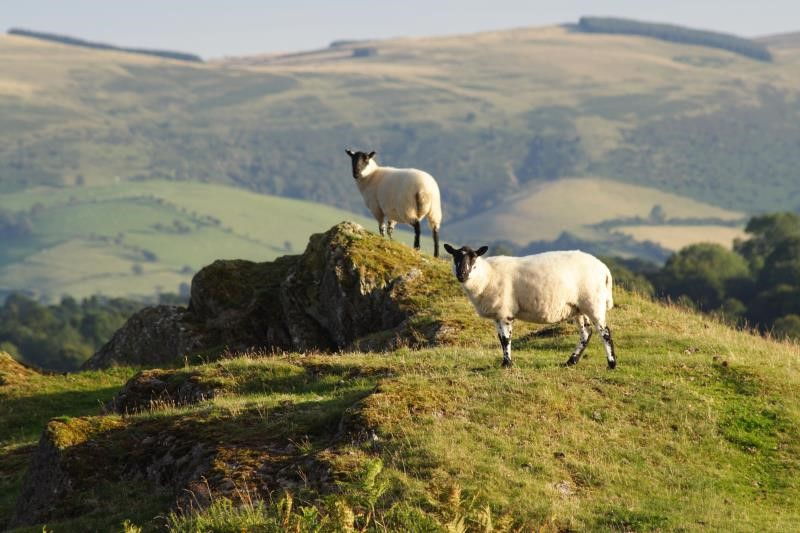 Sheep on hill_3670