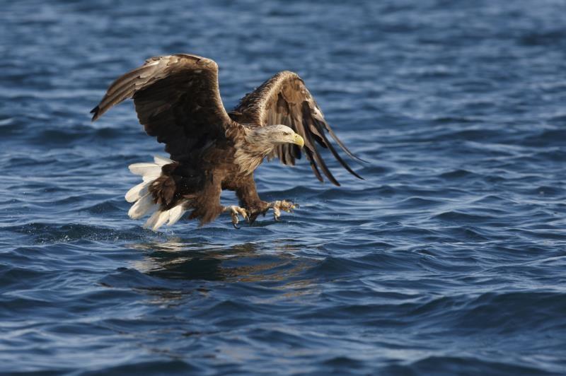 Sea Eagle_3496