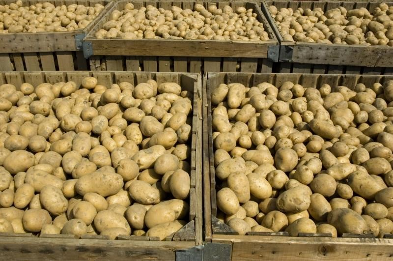 Exporting ware potatoes to the EU and Northern Ireland - read the NFU's briefing