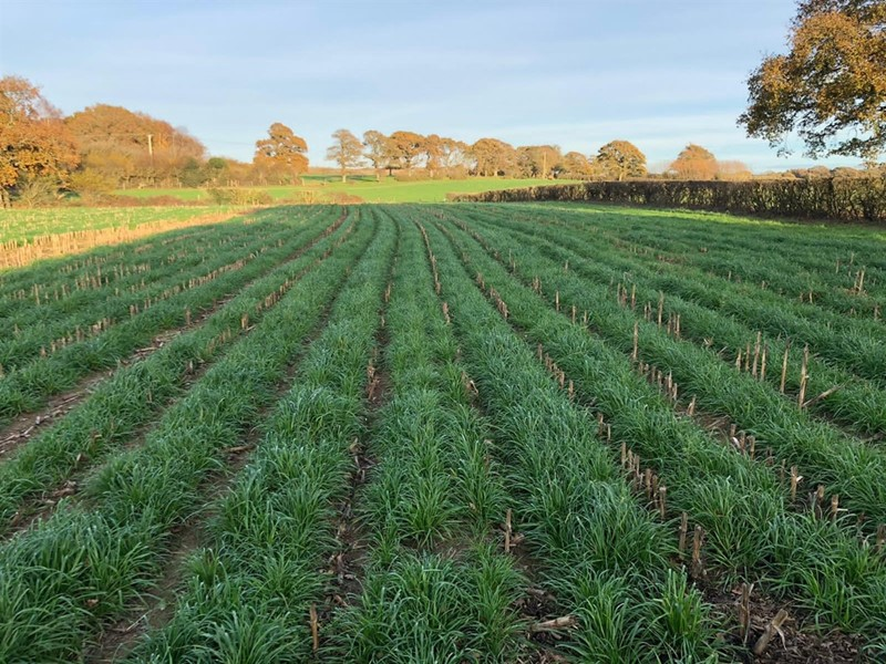 Maize under sown with rye grass_77487