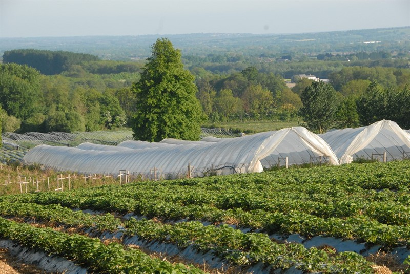 Polytunnels in Kent_76490