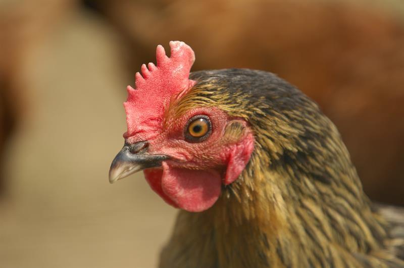 Chicken_64101