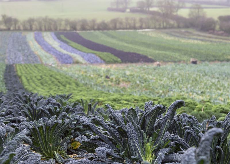 Brassicas Farndon Fields farm_64682