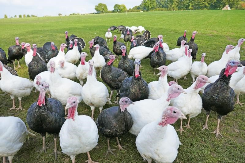 Free range turkeys at smallholding_53752