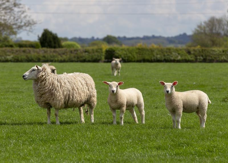 Lleyn sheep Commonwood Farm_66470