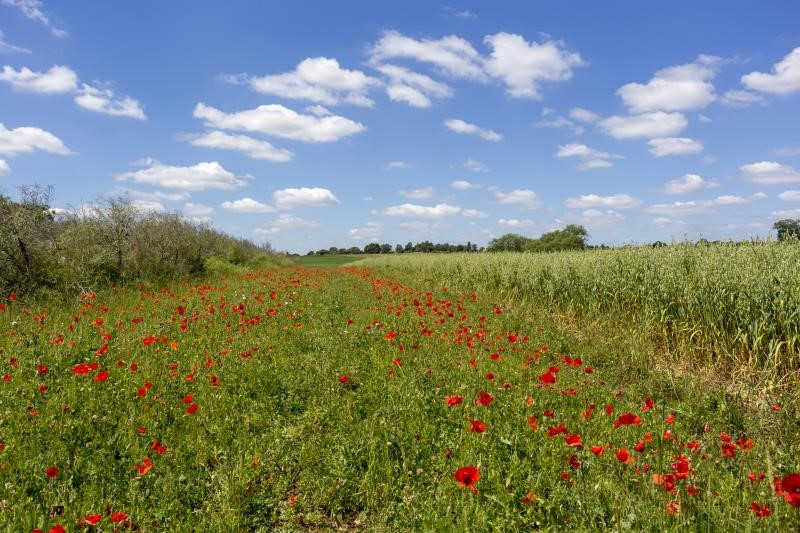 Poppies and wildflower meadow_55640