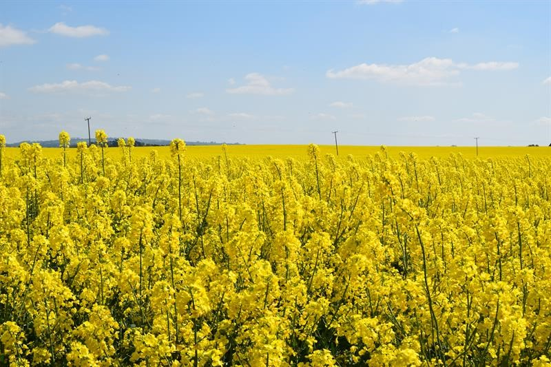 Oilseed rape field_63375