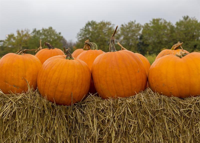 Pumpkins_64606