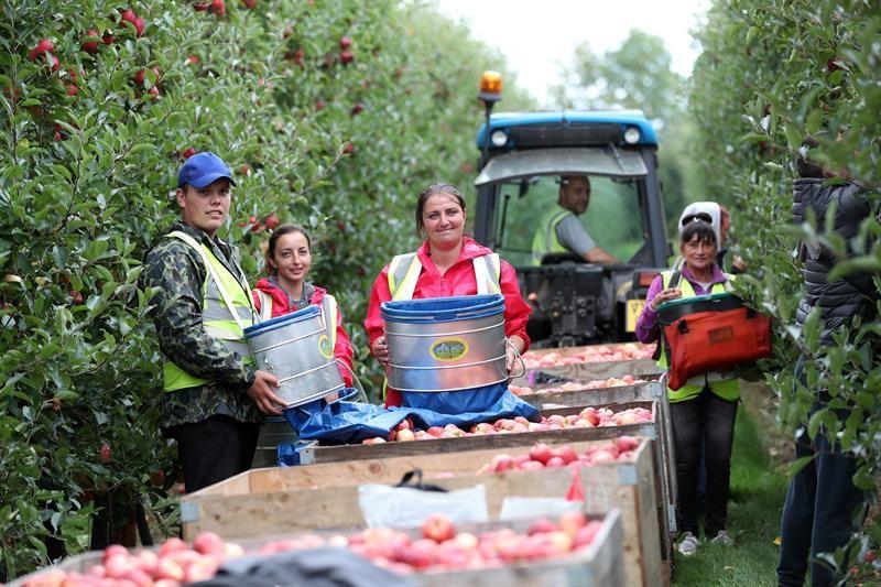 Apple harvest Ali Capper farm September 18_60267