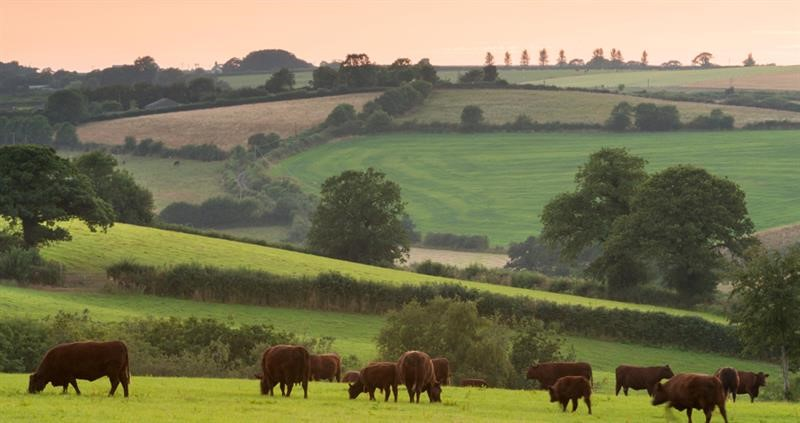 Farming landscape with grazing cattle_70084