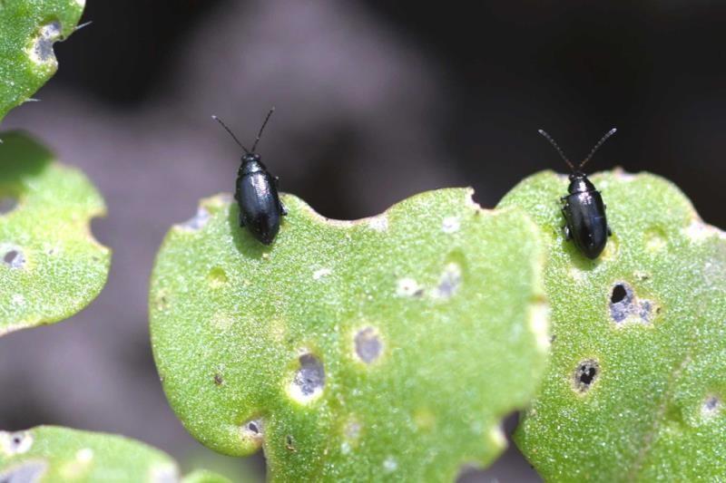 Cabbage Stem Flea Beetle survey