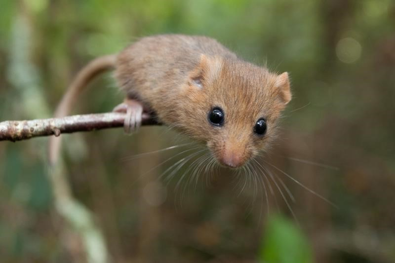 Dormouse (pic: Clare Pengelly_37151