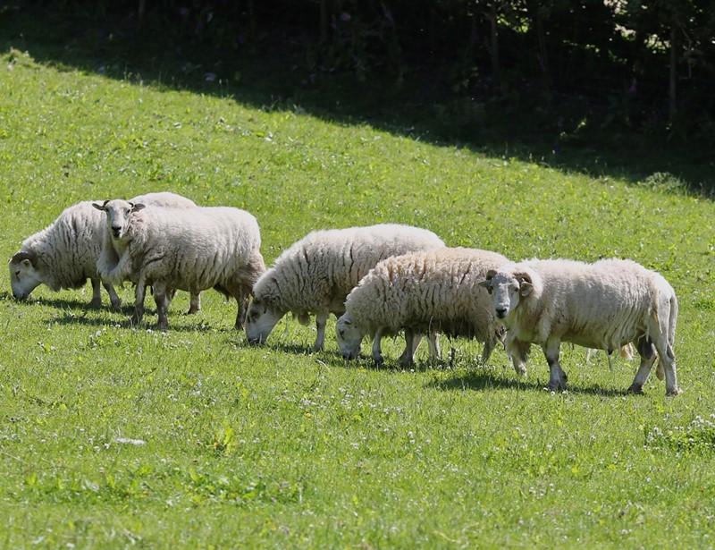 Geraint watkins sheep_79956