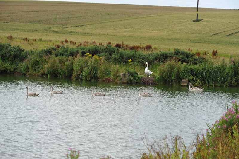 swan and cygnets on wildlife pond 2_79910