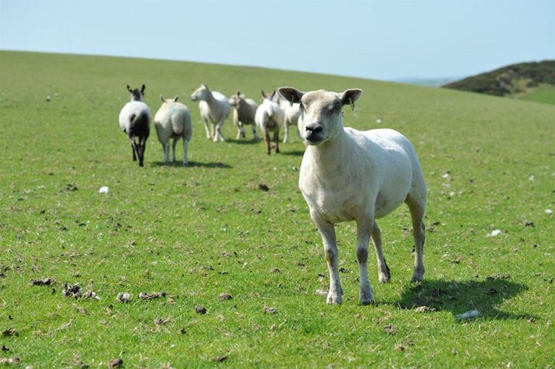 glyn davies sheep_80559