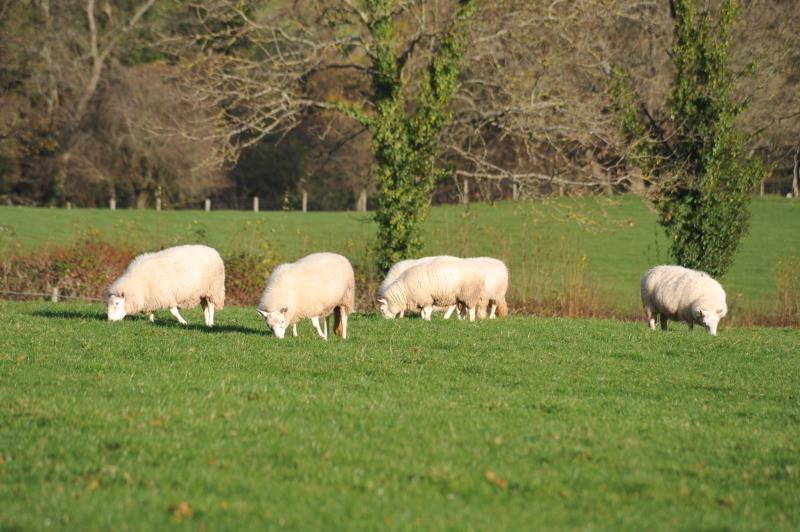Glasnant Morgan's Sheep_40477