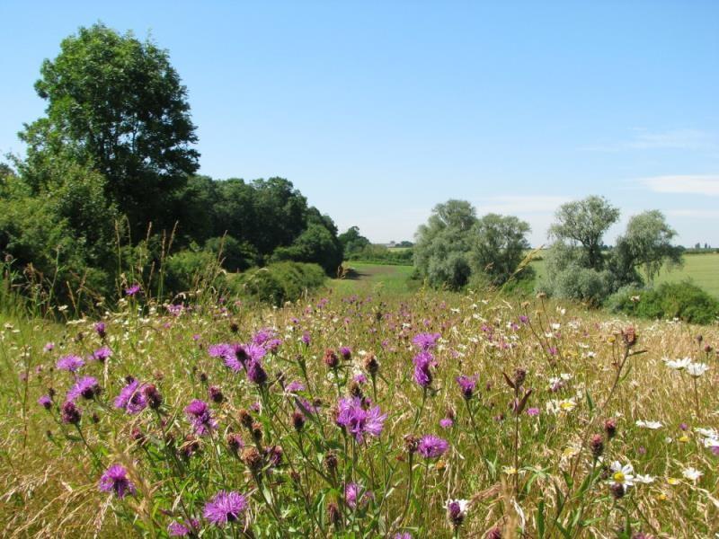 Hedge wildflowers_52125