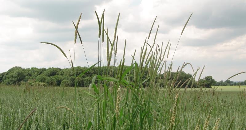 black grass in field web crop_48022