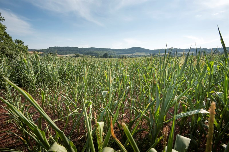 Maize_field_Exeter_75567