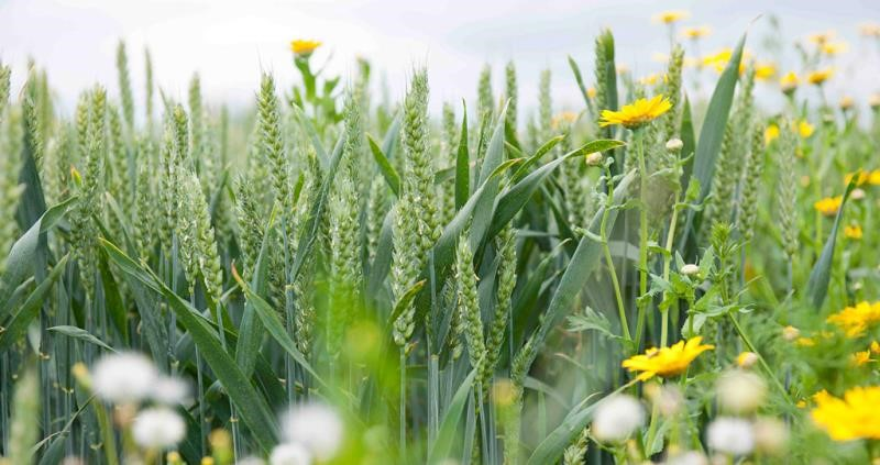 rothamsted research wheat and flowers picture, sustainability, environment, science_43311