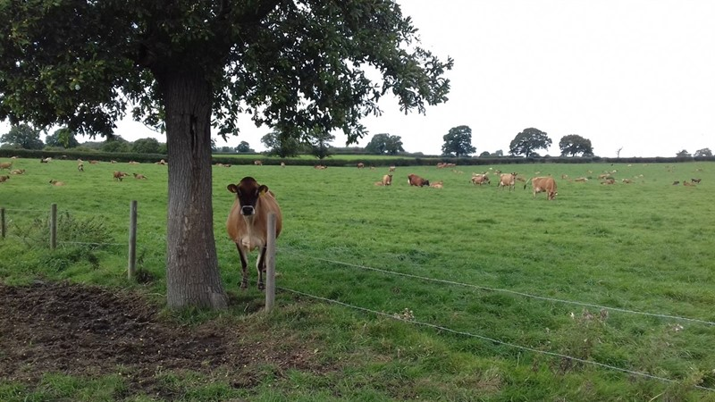 Will Patten's cows_75899