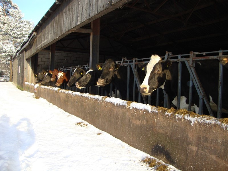 Cows and heavy snow at Low Sizergh Farm_76399