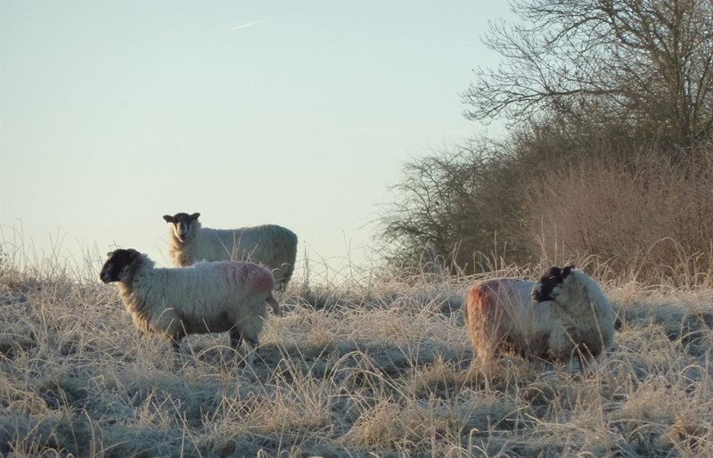 Sheep in frost at Low Sizergh Farm_76395