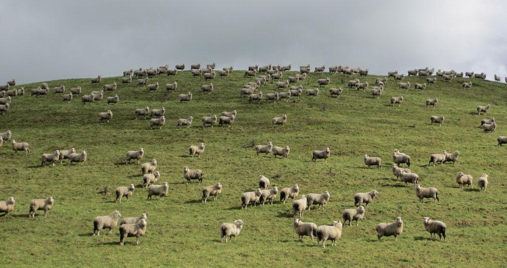 Sheep on New Zealand landscape