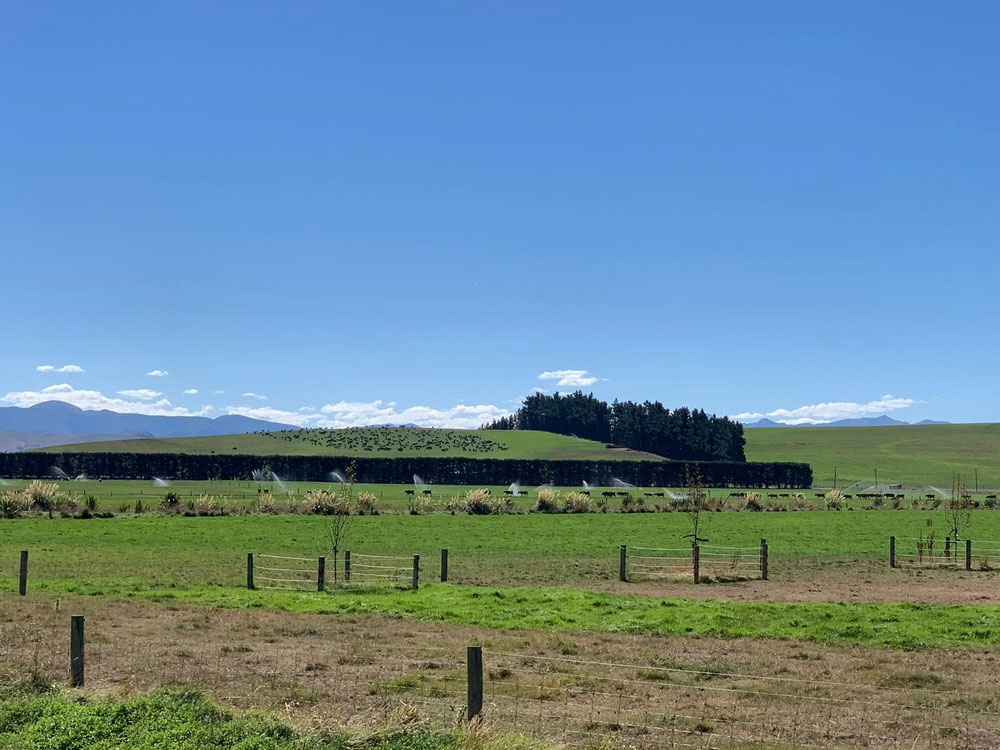 Livestock on farm with sprinklers in New Zealand