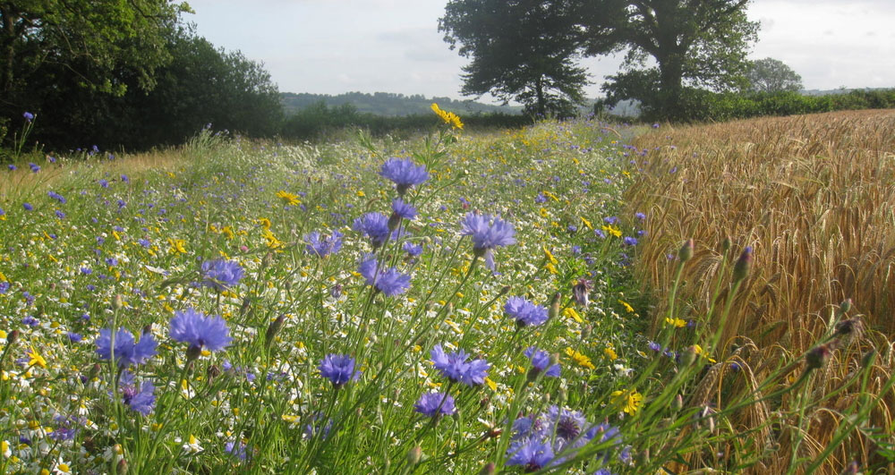 A floral margin and wheat crop