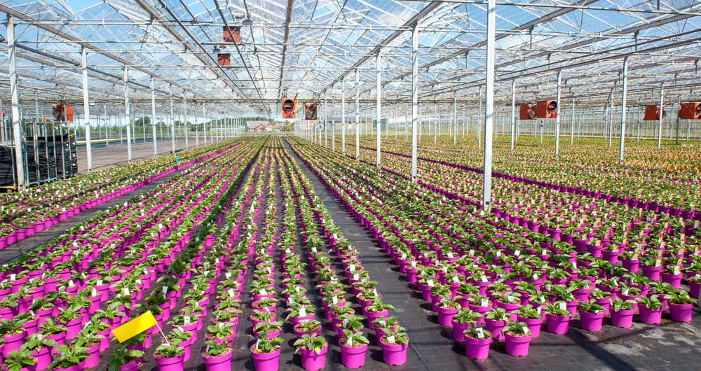 Cut flowers are grown in rows in a glasshouse
