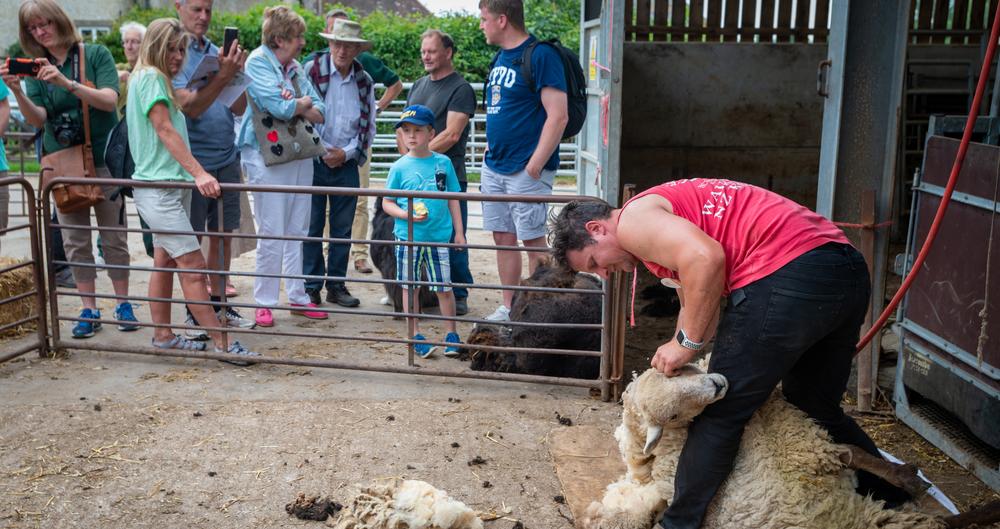 Visitors watch a sheep shearing demo