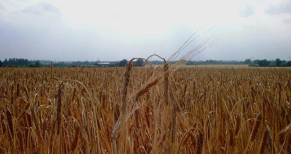 A field of ripe barley