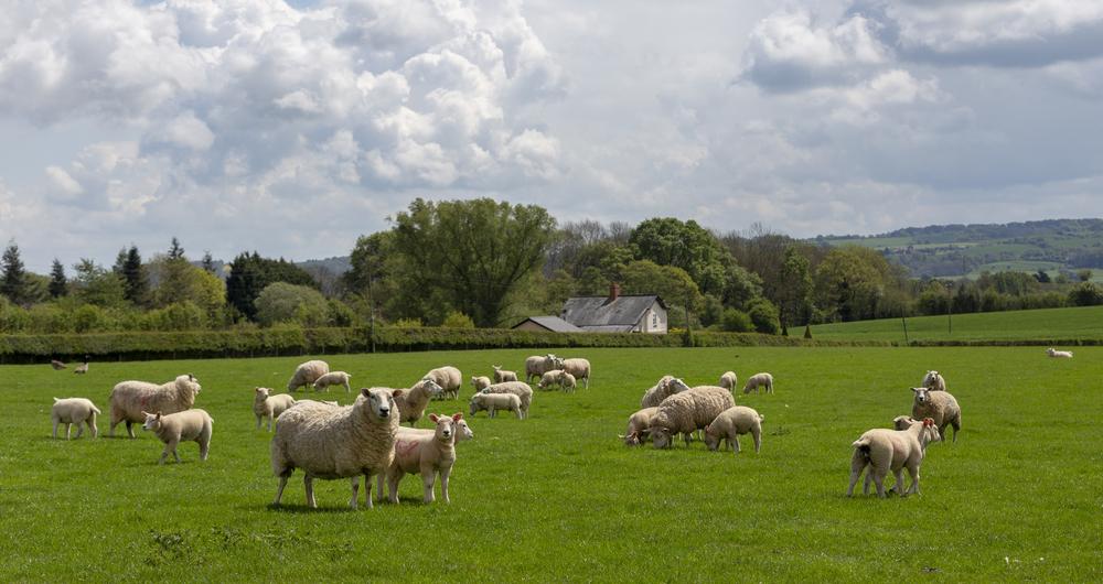 Lleyn sheep, Commonwood Farm
