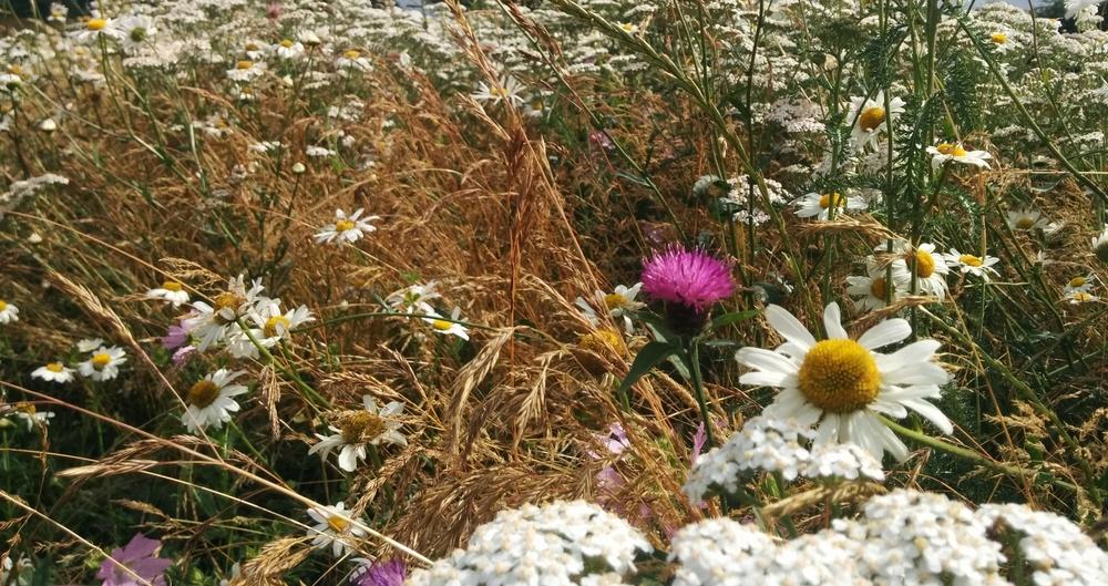 Field margins supporting pollinators (1)