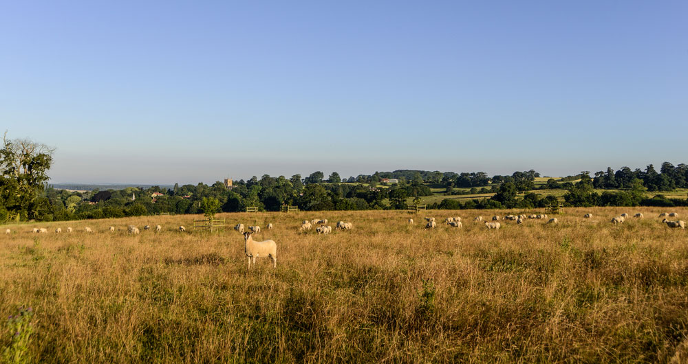 A photograph of sheep grazing in a field