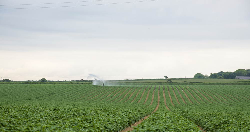 Irrigation taking place on a field of potato crops