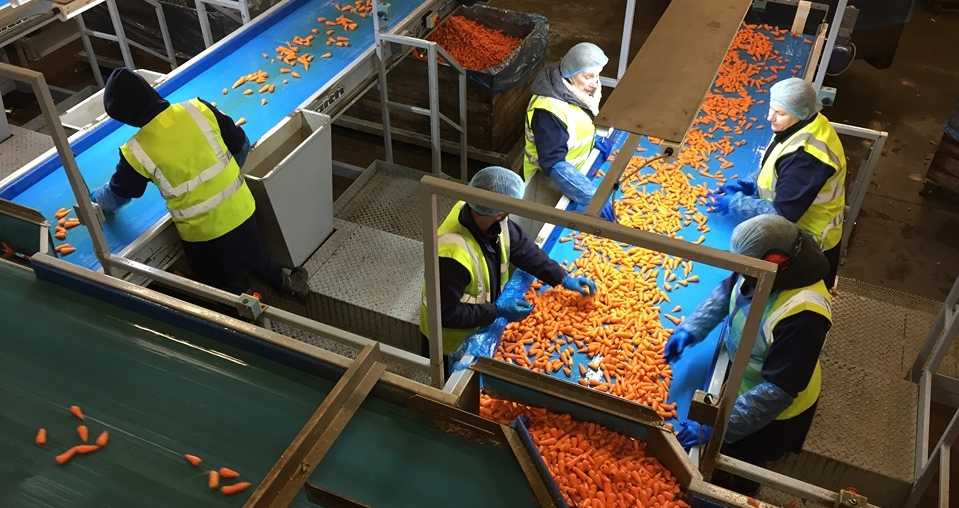 Workers sorting carrots at Freshgro in north Nottinghamshire