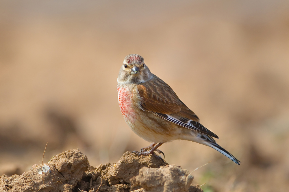 A male Linnet (Carduelis cannabina) perched on bare ground against a clear, blurred, natural setting, East Yorkshire, UK