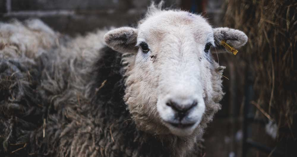 Coronavirus: Matchmaking service to help shortage of sheep shearers