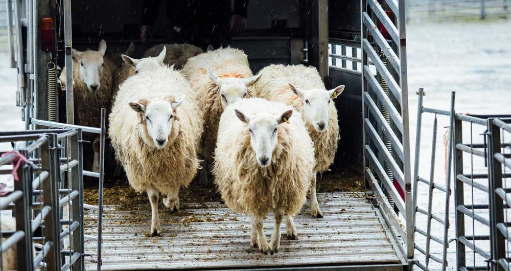 British Wool: Position on producer payments