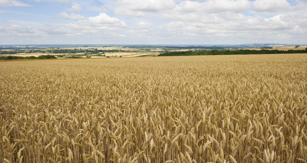 A Yorkshire wolds view with a wheat crop in the foreground