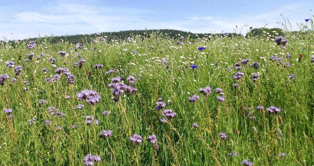 Field margins supporting pollinators