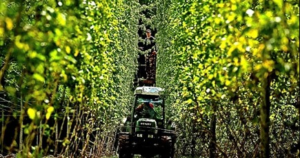 Hop growers left with uncertain future after government rejects calls for support