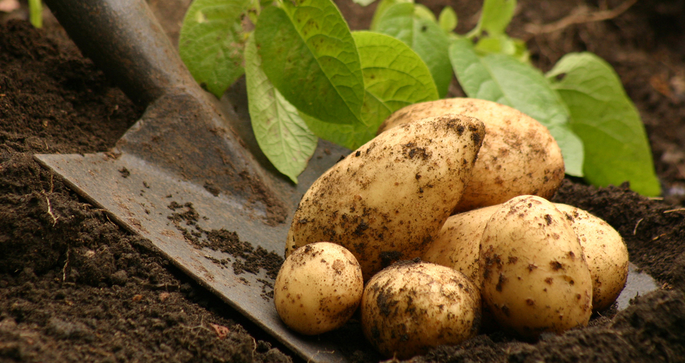 Apply now to join the NFU Potato Forum